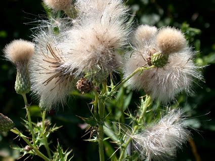Weed Ecology and Management Laboratory || Major Weeds